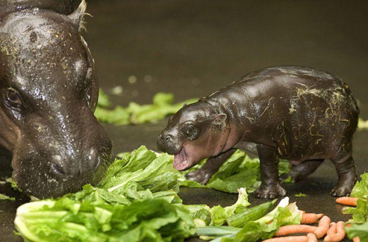 Bebé Hipopótamo que come la hierba