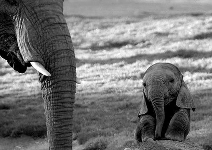 Bebé Elefante al lado de un gran elefante