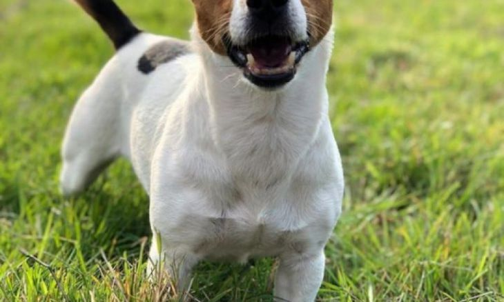 Jack Russell Terrier corre