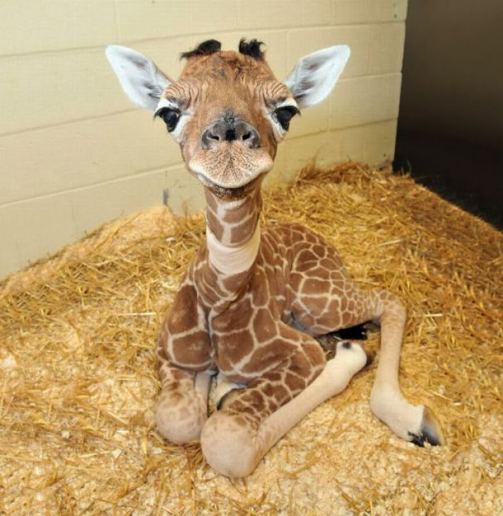 Bebé jirafa sobre la paja