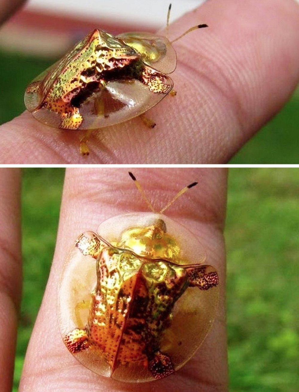 Golden turtle bug