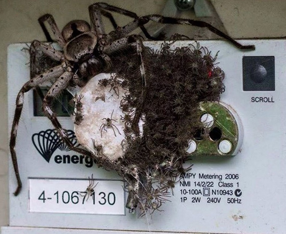 Spiders on an electricity meter