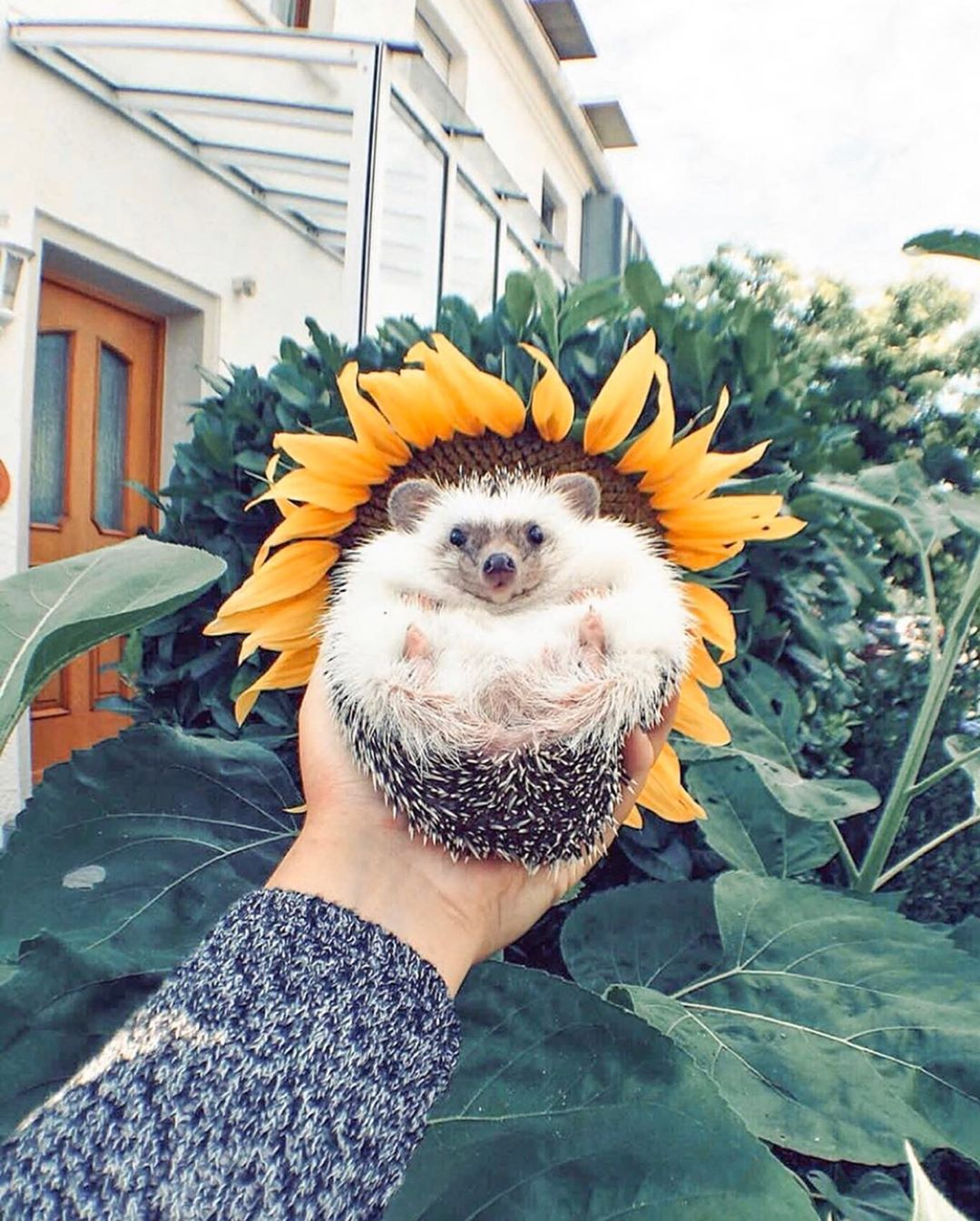Pictures in sunflowers