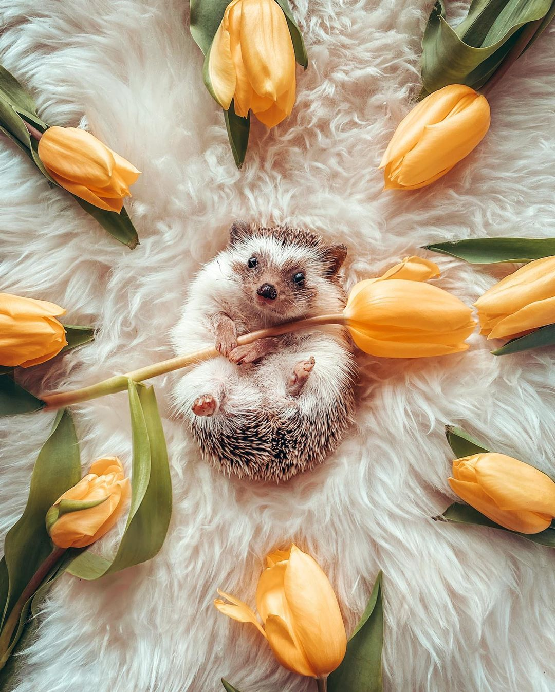 Hedgehog gives flowers to woman