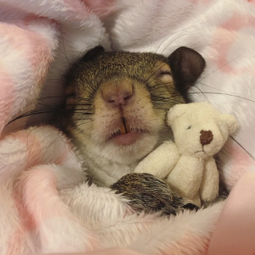 Squirrel sleeping with a soft toy