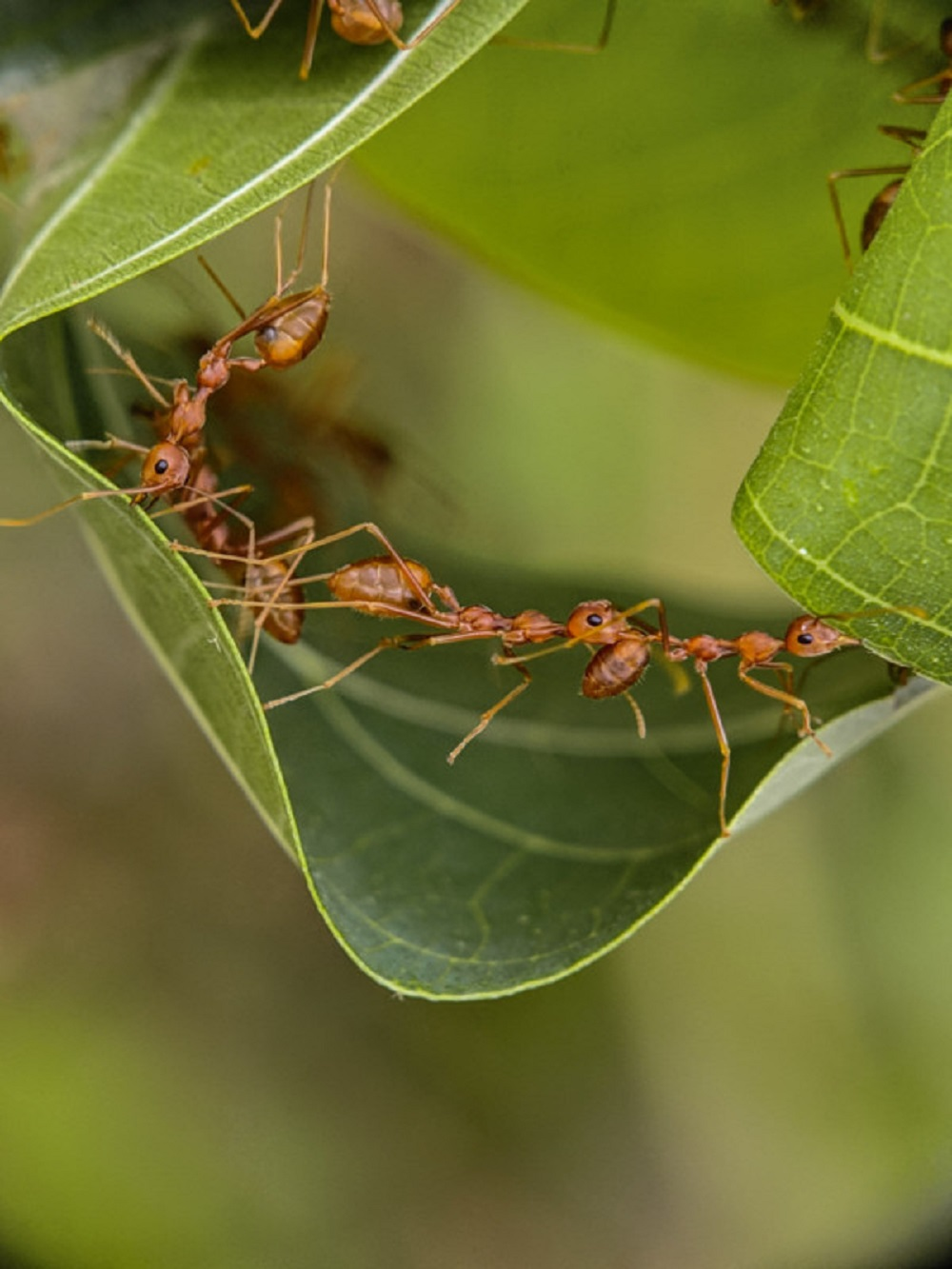 Marching fire ants. One by one by one
