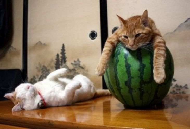 Cat sits on a watermelon