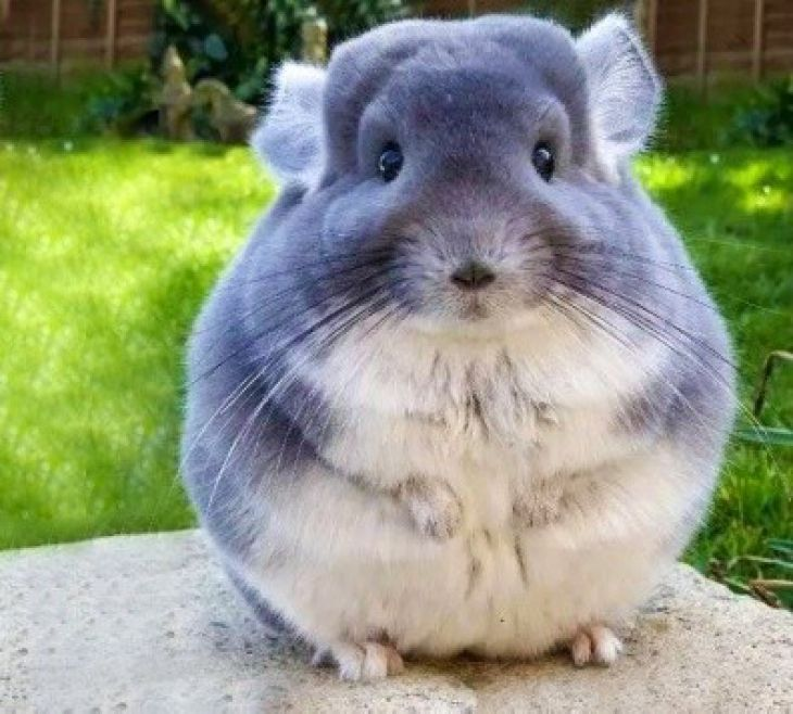 chinchilla grande