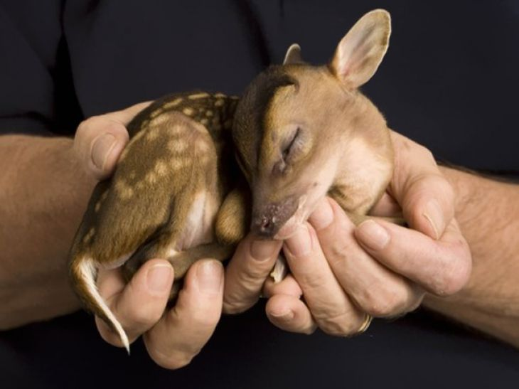 Bebé Ciervo en las manos