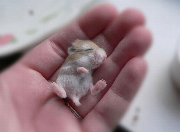 Baby-hamster