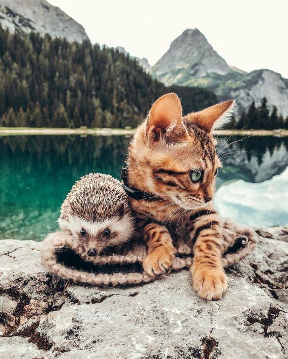 The Saga of a Hedgehog and its Bengal Buddy
